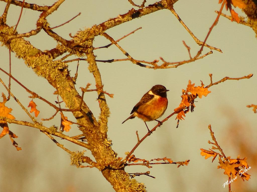 Águas Frias (Chaves) - ... ave chilreando em árvore desfolhada ...
