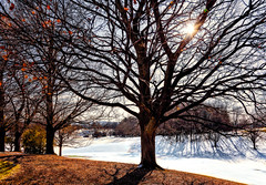 almost naked (JimfromCanada) Tags: tree naked leaf leaves colour color fall autumn winter light branch branches bare ontario canada beautiful majestic landscape snow sunburst