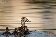 Into the Mystic (soupie1441) Tags: london ontario canada duck duckling dream dreamlike reflection mystic mystical animal nature wildlife pond water nikon d7200