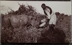 Two rhinoceros and person in the grass. The rhinos are given drinking water from enamel dishes. (The Gallen-Kallela Museum) Tags: africa afrikka rhinoceros rhino sarvikuono person ihminen