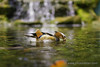 Mandarin Duck - Male (Photonistan) Tags: duck pond water lake rocks fountain malaysia nikon outting travel fish love relationship loyalty china japan happy