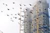 Soaring aloft (Roving I) Tags: pigeons birds nature flocks flying cranes construction projects wyndham buildingsites danang vietnam