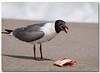 Laughing Gull (Betty Vlasiu) Tags: laughing gull leucophaeus atricilla bird nature wildlife chincoteague island