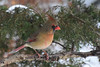 DSC_9965B (The Real Maverick) Tags: highpark torontoparks toronto ontario canada wildlife outdoor winter nikon cardinal