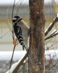 Male Downy Woodpecker_N4100 (Henryr10) Tags: yard yardart logsuetfeeder diylogsuetfeeder downywoodpecker picoidespubescens avian bird woodpecker picoides pubescens vogel ibon oiseau pasare fågel uccello tékklistar dowo