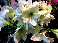 #Amaryllis #WHITE (RenateEurope) Tags: 2018 renateeurope iphoneography flowers flora amaryllis white awesomeblossoms