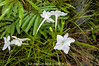 2016-04-05 1700_Ac-1825 Escobedia laevis (OROBANCHACEAE) - E.P. Mallory (B Mlry) Tags: escobedialaevis orobanchaceae 1700acregrant 2016 belize belizedistrict belizezoo ca5 co5 calyx corolla flora leavesopposite leafstructure parcelmanagedbythebelizezoo simpleleaf tbz axillaryinflorescences bracts corallahairy crosssection flower flowerbuds foliage fusedcalyx greenstem habitat insitu salverformcorolla stem style sympetalous tallos teretestem whiteflowers democracia