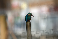 Welcome to Hemel Hempstead... (petegatehouse) Tags: kingfisher bokeh hemelhempstead hertfordshire england uk
