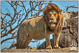 Serengeti Lion 021616-3035-W.jpg