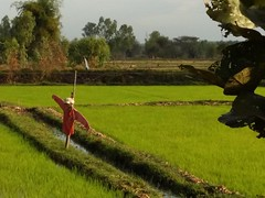 Scarecrow (SierraSunrise) Tags: scarecrow farming agriculture rice paddy paddies ricepaddy ricepaddies paddyrice poaceae grain thailand isaan esarn phonphisai nongkhai