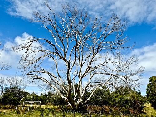 Cape Otway Trees 2