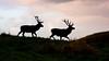 Red Deer .. (4gyp) Tags: reddeer