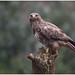Common Buzzard - Buizerd (Buteo buteo) ...