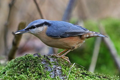 Nuthatch (Karen Roe) Tags: lackford lake lackfordlake naturereserve nature reserve suffolk county england britain uk unitedkingdom greatbritain gb canoneos760d canon 760d 150600mm sigma zoom wildlife hide january 2018 peaceful quiet tranquil outside winter weather season camera photography photograph photographer picture image snap shot photo karenroe female flickr visit visitor