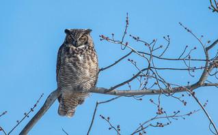 Grand-duc d'Amérique/Great Horned Owl-10560
