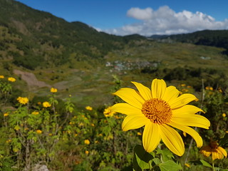 "Yellow Flower Philippines ""Sunflower"" Cordilleras © Gelbe Blume"