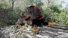Nino - 1 an (bernard.bonifassi) Tags: teckelàpoilsdurs 06 alpesmaritimes 2018 mars chien teckel chasse canonsx60 bb088