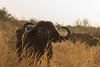Curious Cape Buffalo (brendangreenwayphotography) Tags: animals animal africa safari sunrise tanzania tarangire water buffalo waterbuffalo background travel explore wildlife
