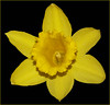 Daffodil 2 (Cornishcarolin. Thank you for over 2 Million Views) Tags: cornwall penryn daffodils flowers nature blackbackground yellow