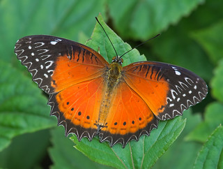 Red Lacewing 1