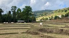 Dry rice terraces