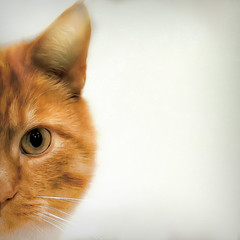 Eye Eye (Sarah Fraser63) Tags: cats gingercats texture catportrait felines animal pets bestofcats