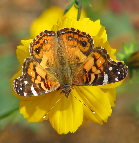 American lady in wild cosmos