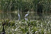 Great Egrets (blachswan) Tags: ballarat victoria australia lakewendouree lake greategrets ardeaalba