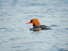 Goosander (Corine Bliek) Tags: mergusmerganser bird birds vogel vogels nature natuur wildlife trekvogels wintergasten winter migratory