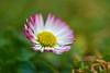 Daisy - one of the first this year (pstenzel71) Tags: blumen natur bokeh flower darktable samsungnx daisy gänseblümchen bellisperennis bellis
