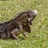 Iguana Verde - Adulto / Green Iguana - Adult (Wladimir Lopes) Tags: lagarto lizard iguana iguanaverde greeniguana iguanaiguana