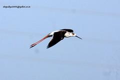 IMG_2823 Black-winged Stilt (Himantopus himantopus) (vlupadya) Tags: greatnature animal aves fauna indianbirds blackwinged stilt himantopus kundapura karnataka