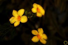 t h r e e   |  #explored #inexplore (NadzNidzPhotography) Tags: inexplore explored nadznidzphotography fridays flora yellow yellowflower lowkey