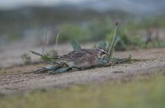 American Horned Lark Staines Reservoire 04-02-2017-2360 (seandarcy2) Tags: lark americanhorned birds wildlife megga for uk