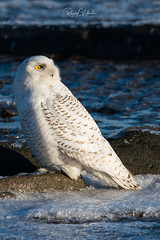 Snowy Owls of New Jersey | 2018 - 4 (RGL_Photography) Tags: birding birds birdsofprey birdwatching buboscandiacus gardenstate hudsoncounty mothernature nature newjersey nikonafs600mmf4gedvr nikond500 ornithology owls raptors snowyowl us unitedstates wildlife wildlifephotography beachowl