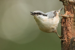 Wood Nuthatch Sitta europaea (janmangorfagerland) Tags: animal birds bird birdphoto bokeh birdsgallery birding birdsofnorway birdswildlifenaturenikon300mmvrii2 colours coast d800e dephtoffield depth dof 300mmvrii28g exposure evening fagerland field fugler flickr fuglebilder fauna forest gallery g green grey jan janfagerland kongsberg skog light mangor nikon nature norge norway natur nikkor nikon300mmvrii28g outdoor ornithology orange photography photo planet portrait sun tree vr wildlife white wood wildbirds spettmeis pine nuthatch