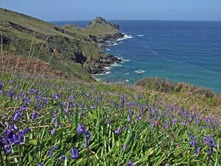 Clifftop bluebells, with Gurnard's Head beyond