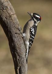 Downy Woodpecker, male (AllHarts) Tags: maledownywoodpecker backyardbirds memphistn naturescarousel ngc npc