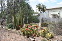 Cacti and succulents (Runabout63) Tags: cacti cactus succulent garden flower