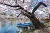 Blossoms Over Boats On The Moat (lestaylorphoto) Tags: japan aomori hirosaki sakura cherryblossoms travel japantravel nikon d610 leslietaylor lestaylorphoto 青森 弘前 弘前城 弘前城公園 桜 春 東北