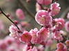 Plum Blossom Festival in Yushima Shrine (walking.biking.japan) Tags: plumblossoms tokyo bunkyoku shrine flowers
