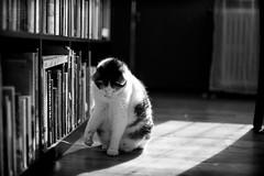 Focused (Eera Photography) Tags: cat pet blackandwhite 50mm 14 littledoglaughednoiret