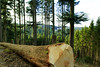 Baumstamm (sonjaheinzmann) Tags: baumstamm baum tree schwarzwald blackforest wald forest treetrunk sun nature natur