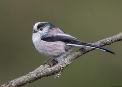 Long-tailed Tit : Aegithalos caudatus (Jerry Hawker) Tags: longtailedtit aegithaloscaudatus long tailed longtailed tit devon