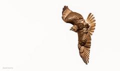 taking a hard left (morris 811) Tags: red tailed hawk flight turns twists raptor nikon nikkor 500mm f4 d4s