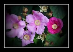 Shades of Pink (Audrey A Jackson) Tags: canon60d kedlestonhall garden rose hips petals colour pink perfume closeup 1001nights