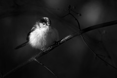 Fluffy ball (Michel Couprie) Tags: europe france essonne brétignysurorge animal bird light clairobscur composition chiaroscuro bw blackandwhite noiretblanc nb nature tree canon eos ef3004lis couprie