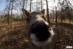 roe @ Leipzig, 2018 (Jan Rillich) Tags: reh europäischesreh capreoluscapreolus europeanroedeer westernroedeer chevreuil roedeer roe jan rillich janrillich picture photo photography foto fotografie eos digital animal nature beautiful beauty sunny sun fauna flora free animalphotography leipzig winter snow cold germany canon canon5d 5dmarkiii 2018 wideangle weitwinkel funny fisheye fischauge fun