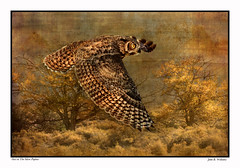 GHO ~ The Objective, an essay (Johnrw1491) Tags: greathorned owl owls birds predator flight flying wildlife poplar trees essay writing creative nature grove