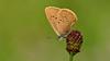Phengaris nausithous (KOMSIS) Tags: kelebek butterfly papillon farfalla schmetterlinge mariposa borboleta فراشة πεταλούδα バタフライ 나비 лептир פרפר ქელებეკი پروانه пеперутка तितली လိပ်ပြာ թիթեռ প্রজাপতি бабочка bábochka conbướm dagfjärilar féileacán fiðrildi fjäril fjärilar flutur fluture kəpənək көбелек kupukupu матылёк metulj motyl motýl motýľ motýlů motýlech leptir liblikas päiväperhonen perhonen papallona pillangó vlinder animal arthropoda insect lepidoptera lycaenidae phengarisnausithous duskylargeblue esmerkorubenikelebeği nikond800e sigma150mmos macro macrophotography supermacroamazing ngc buzznbugz wow visipix wildlife outdoor serene sanguisorba greeny flower
